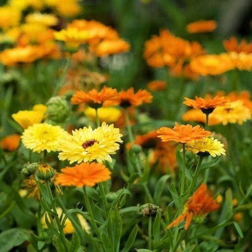 PLANT - CALENDULA: PACIFIC BEAUTY