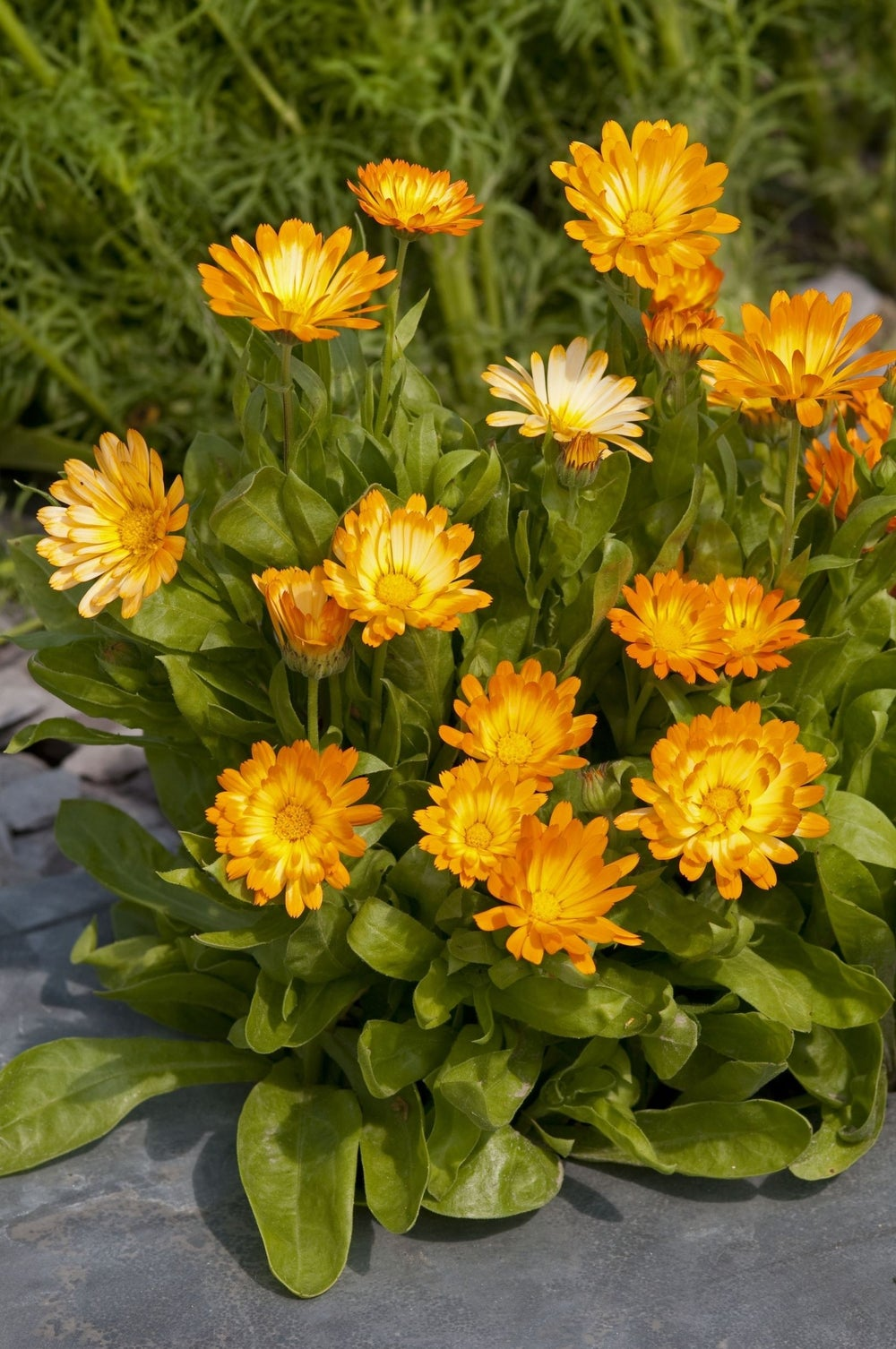 PLANT - CALENDULA: OOPSY DAISY