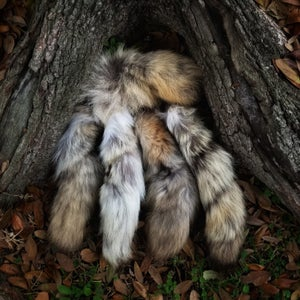 Image of Damaged Coyote Tails