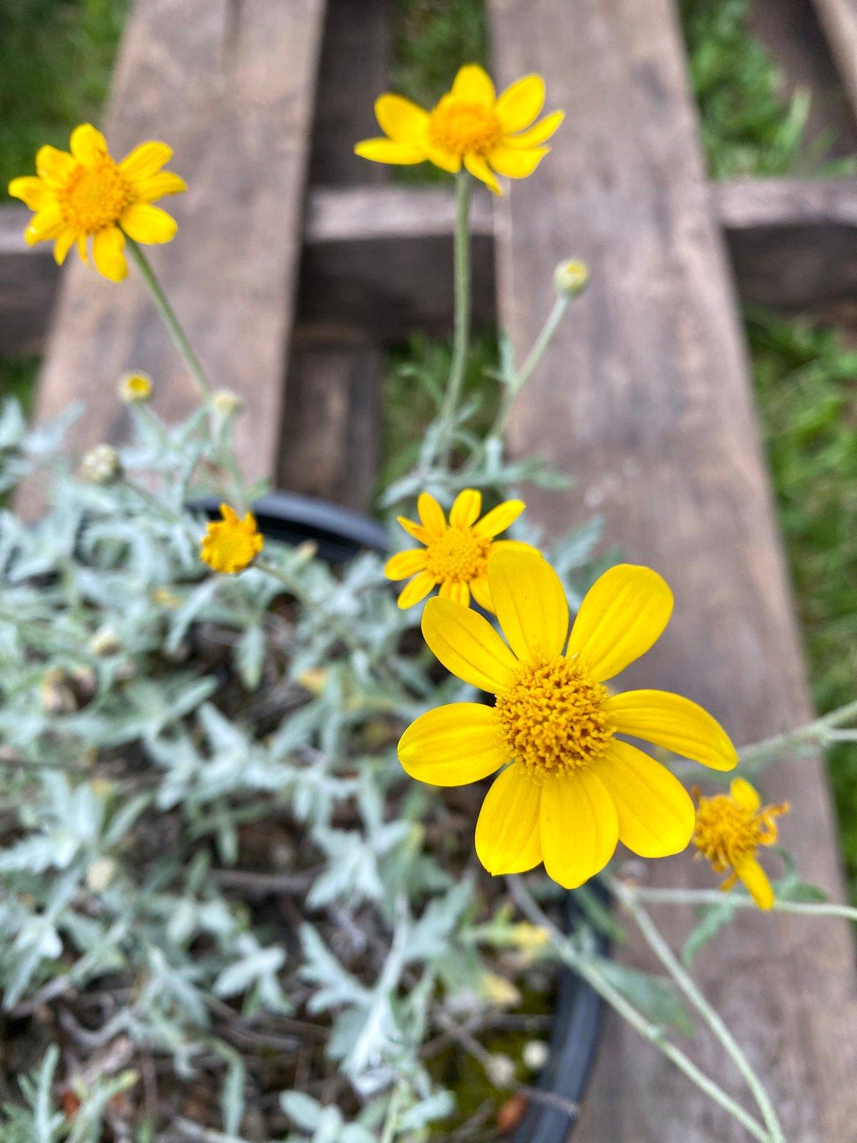 Oregon Sunshine : Eriophyllum lanatum
