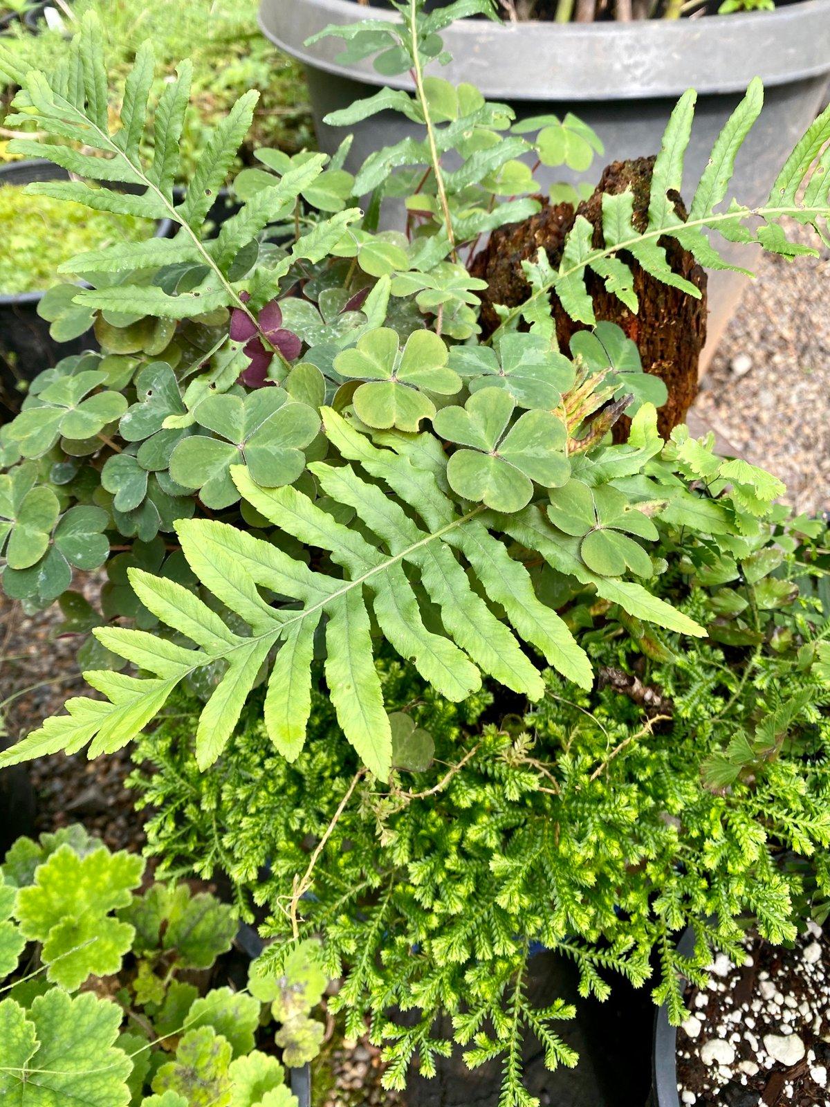 Licorice Fern : Polypodium glycyrrhiza