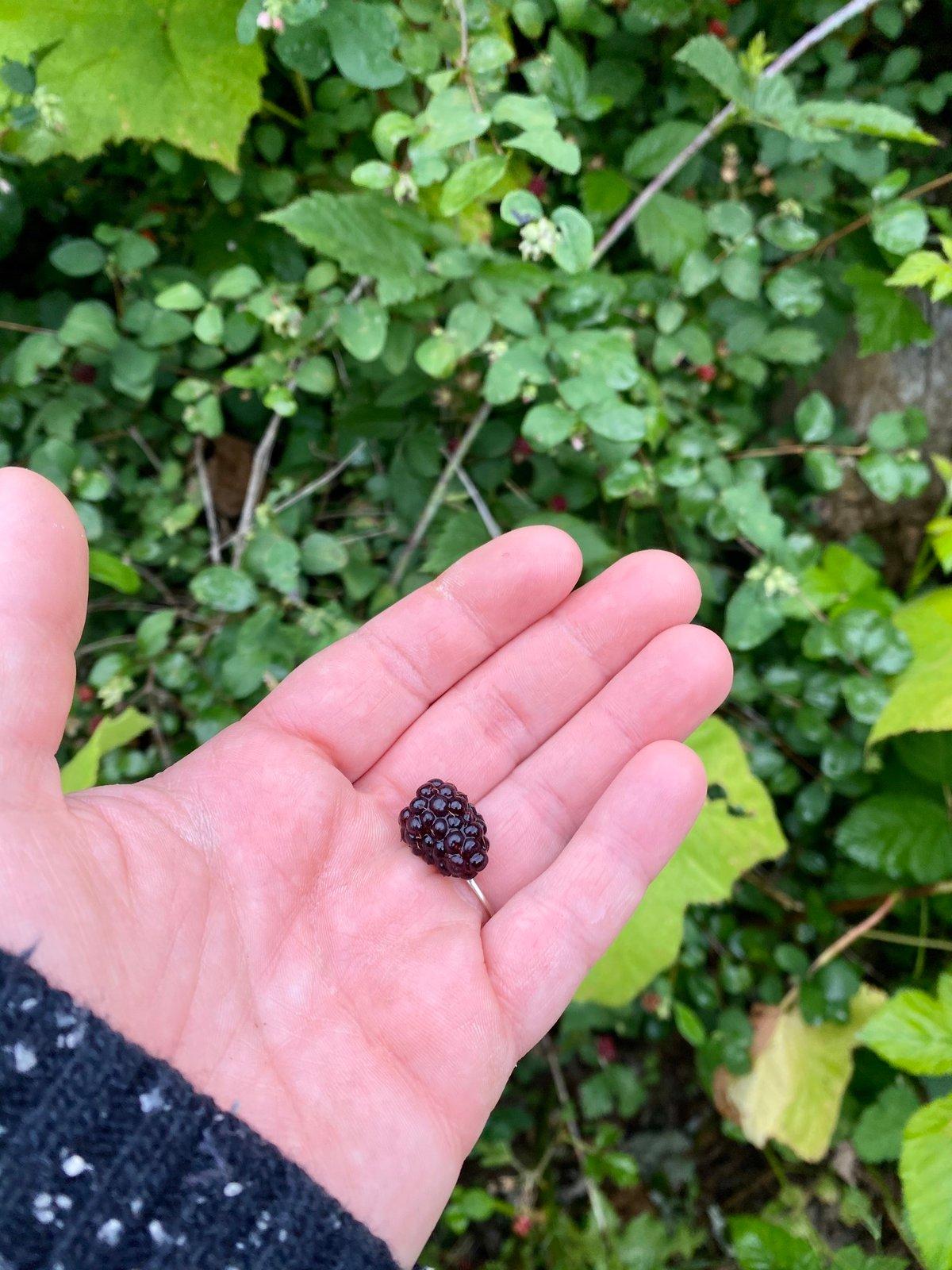 Trailing Blackberry : Rubus ursinus