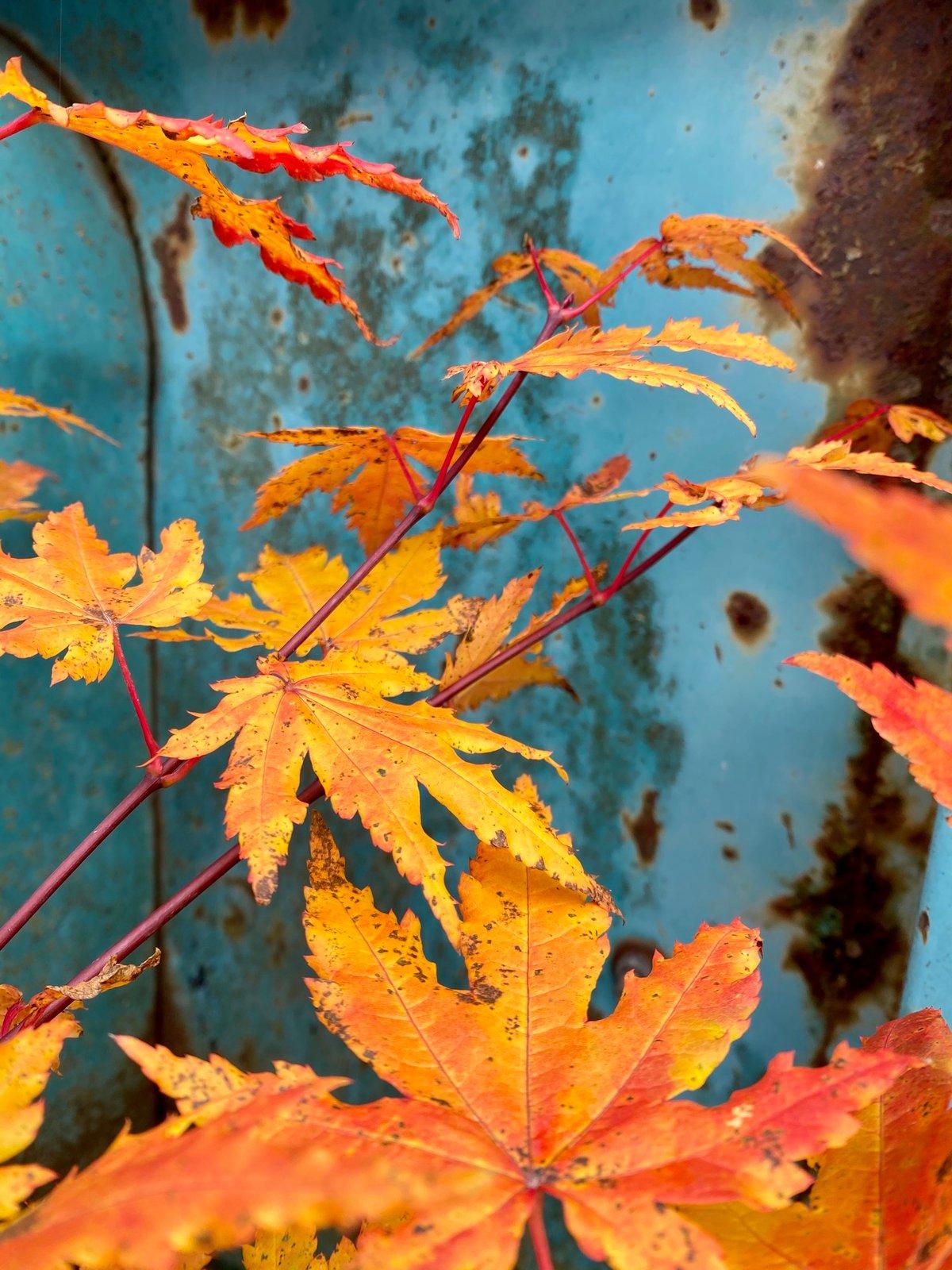 Vine Maple : Acer circinatum