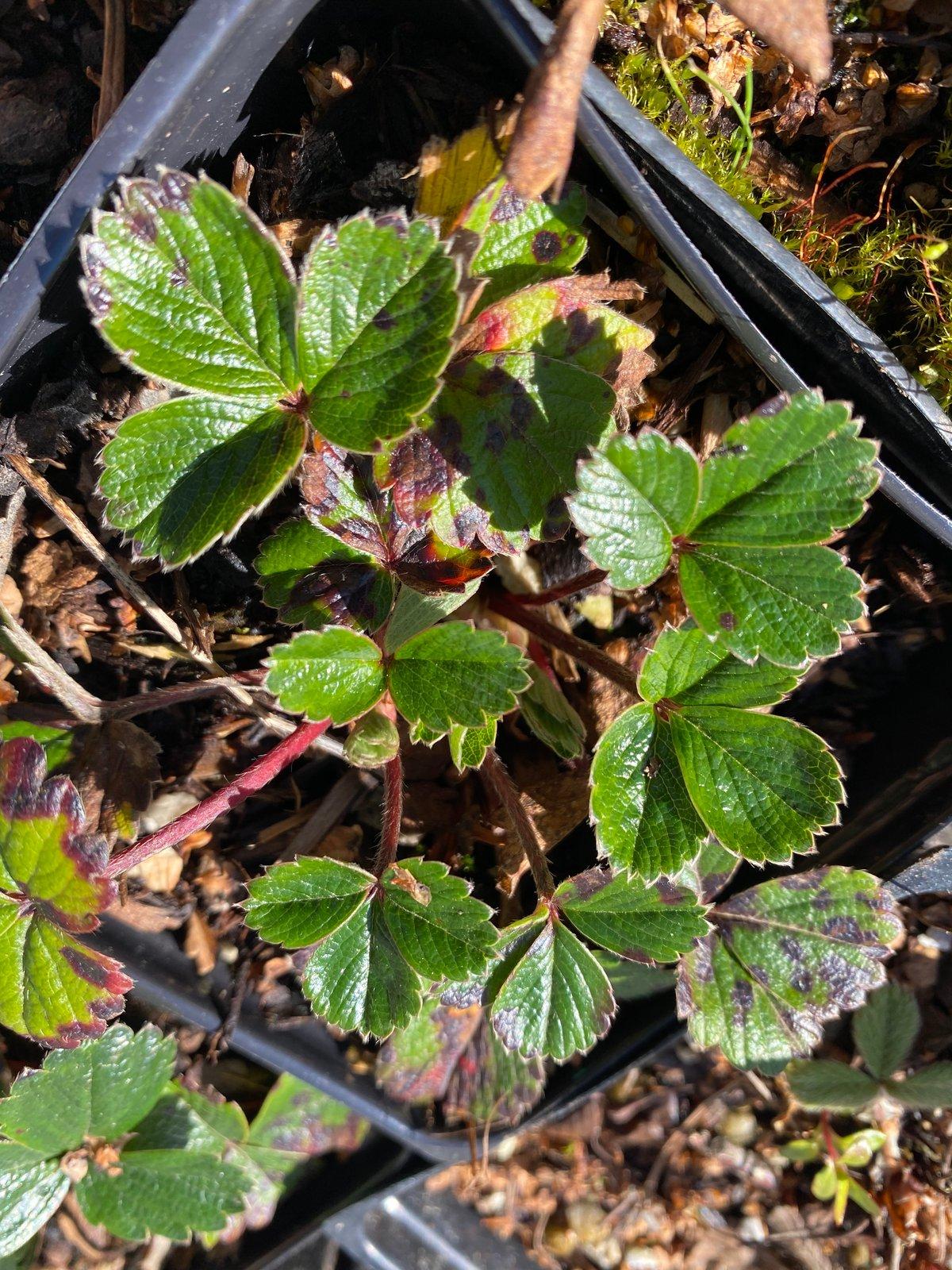 Native Strawberry : Fragaria chiloensis & virginiana
