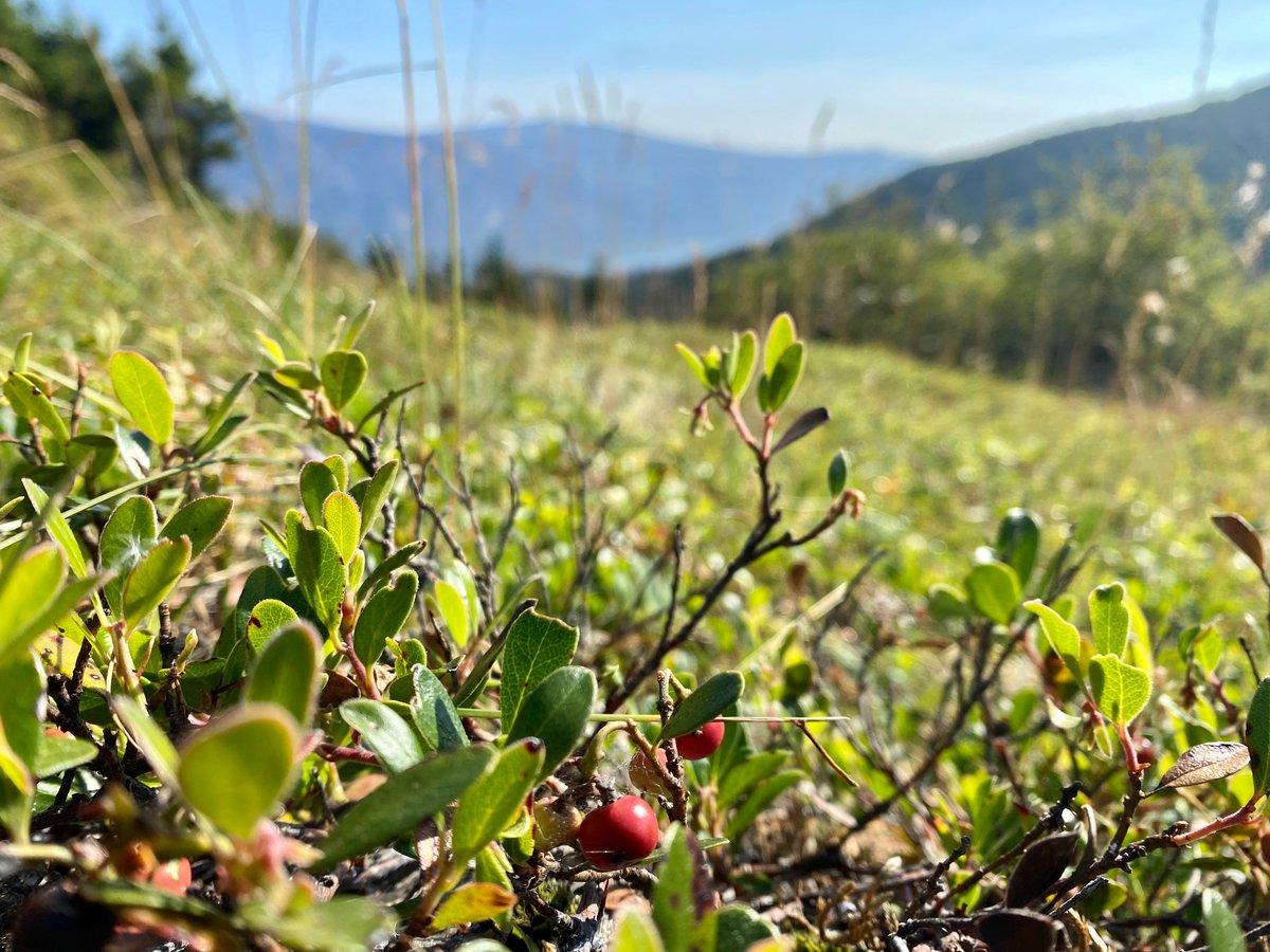 Kinnikinnik : Arcostaphylos uva-ursi