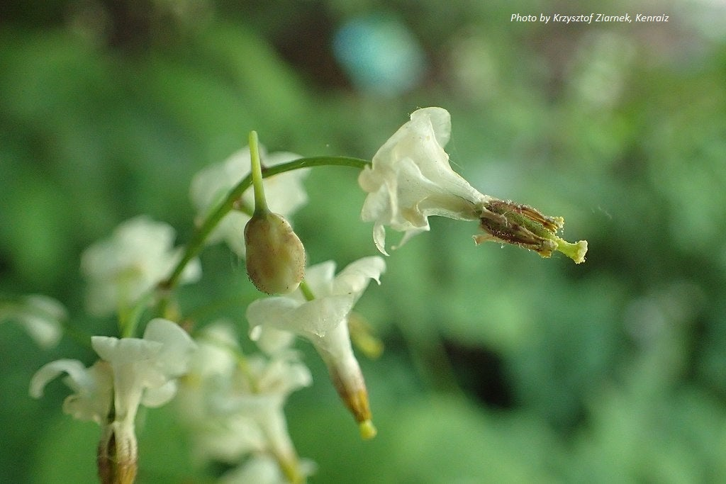 Inside-out Flower : Vancouveria hexandra