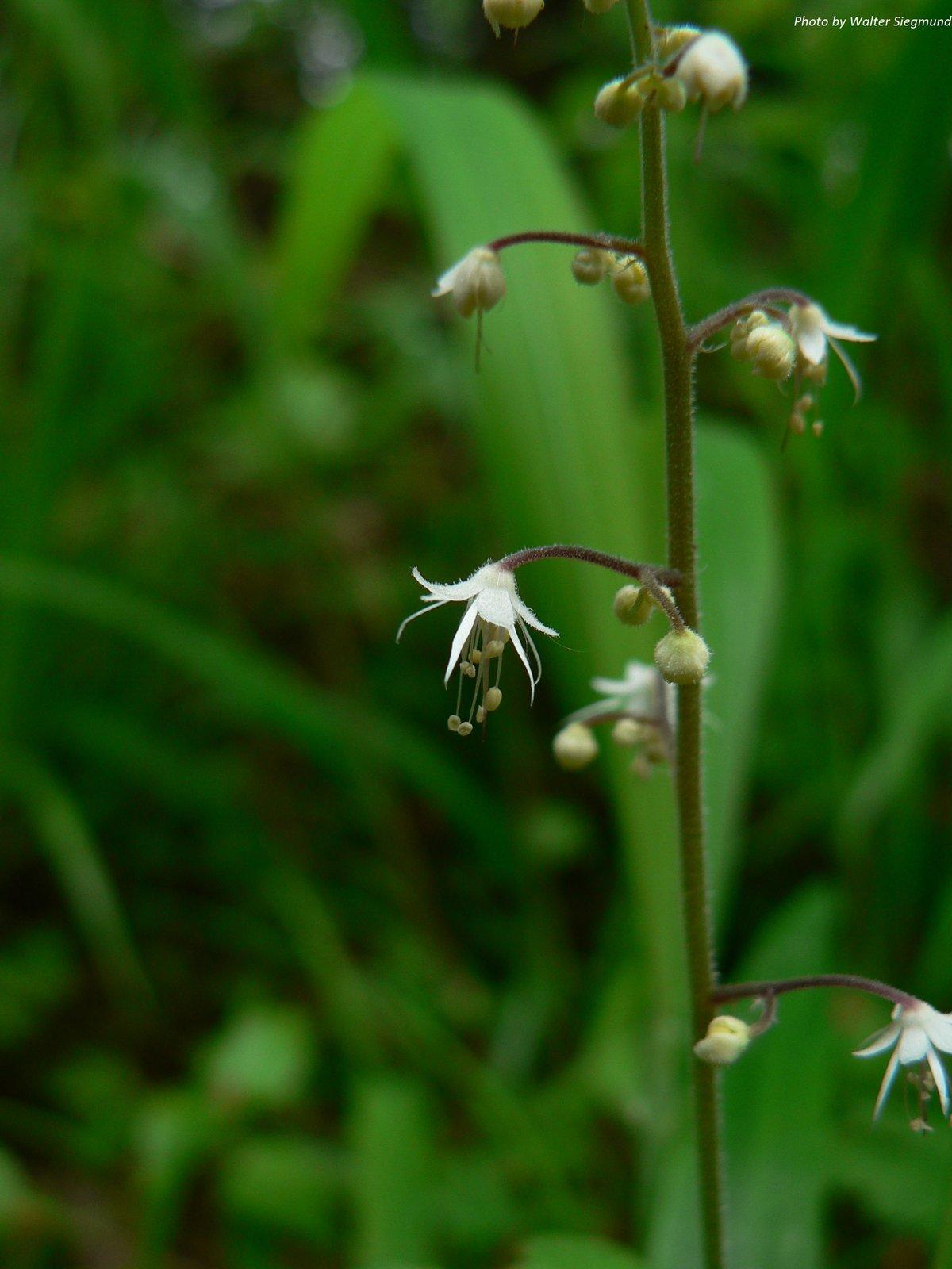 Foamflower : Tiarella trifoliata