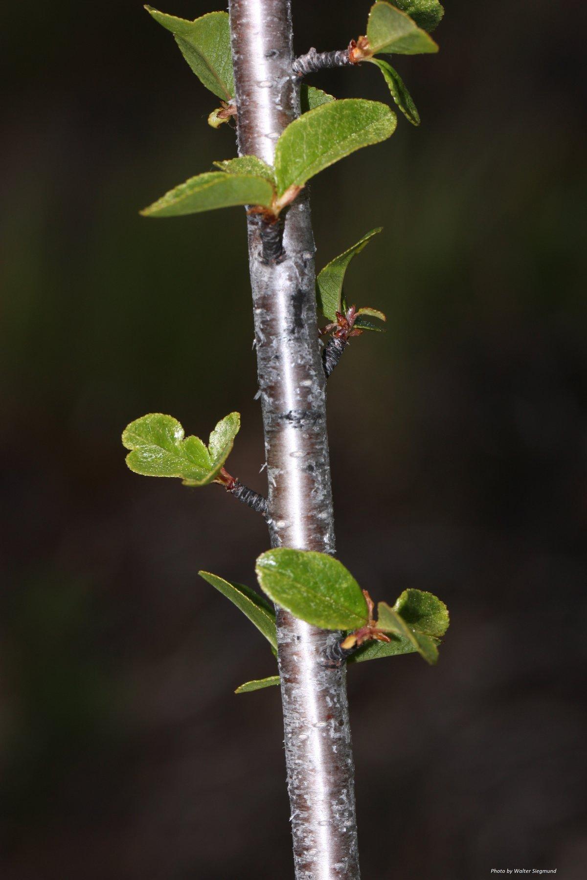 Bitter Cherry : Prunus emarginata