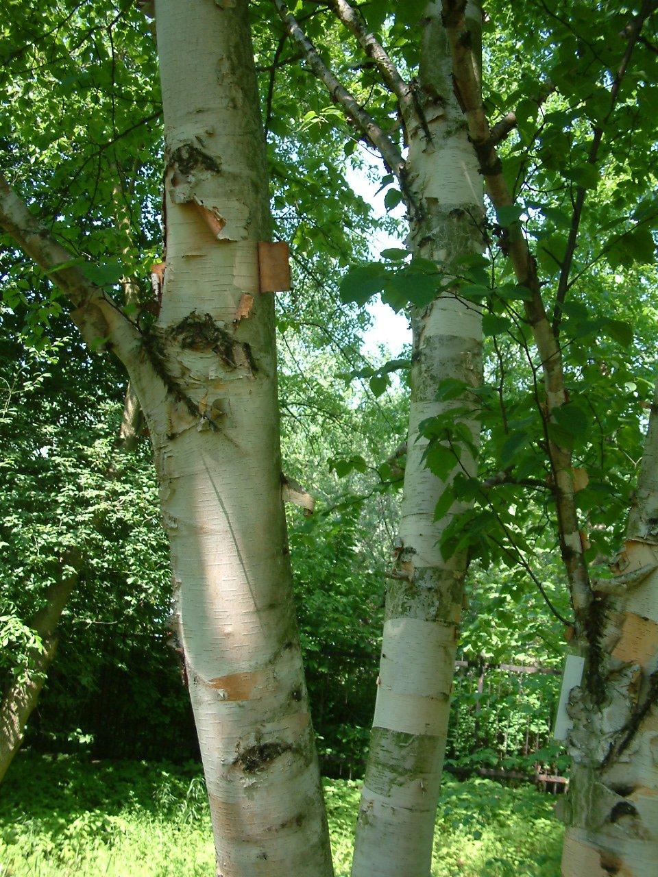 Paperbark Birch : Betula papyrifera