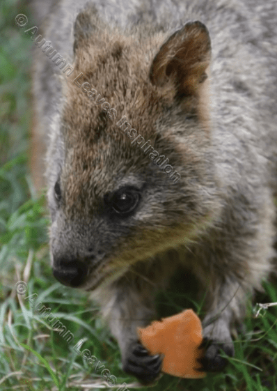 Image of A24 Quokka - NEW!