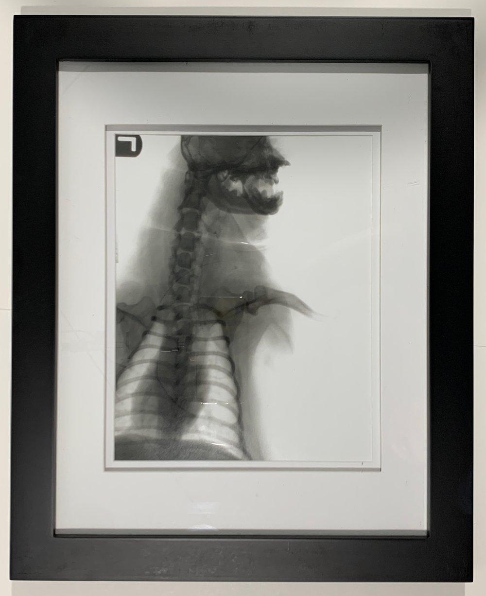 X-RAY PUG PORTRAIT - FRAMED