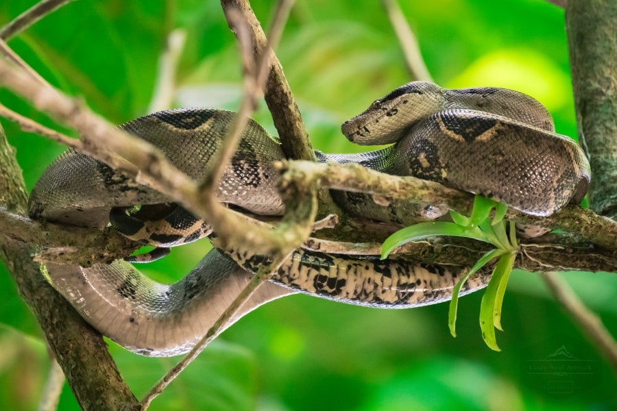 Image of Boa Constrictor