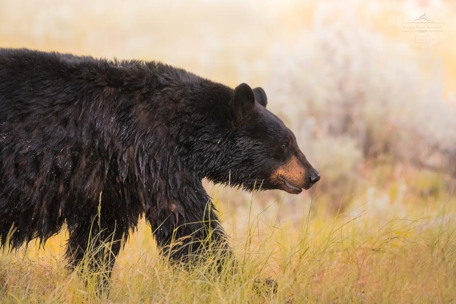 Image of Summer Black Bear