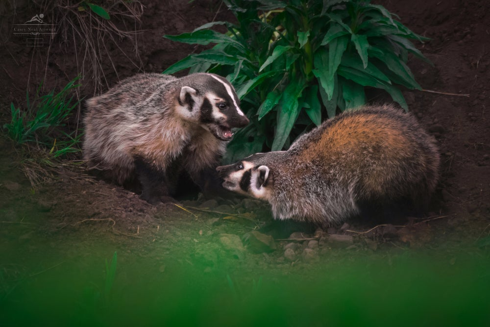 Image of Playful Badgers