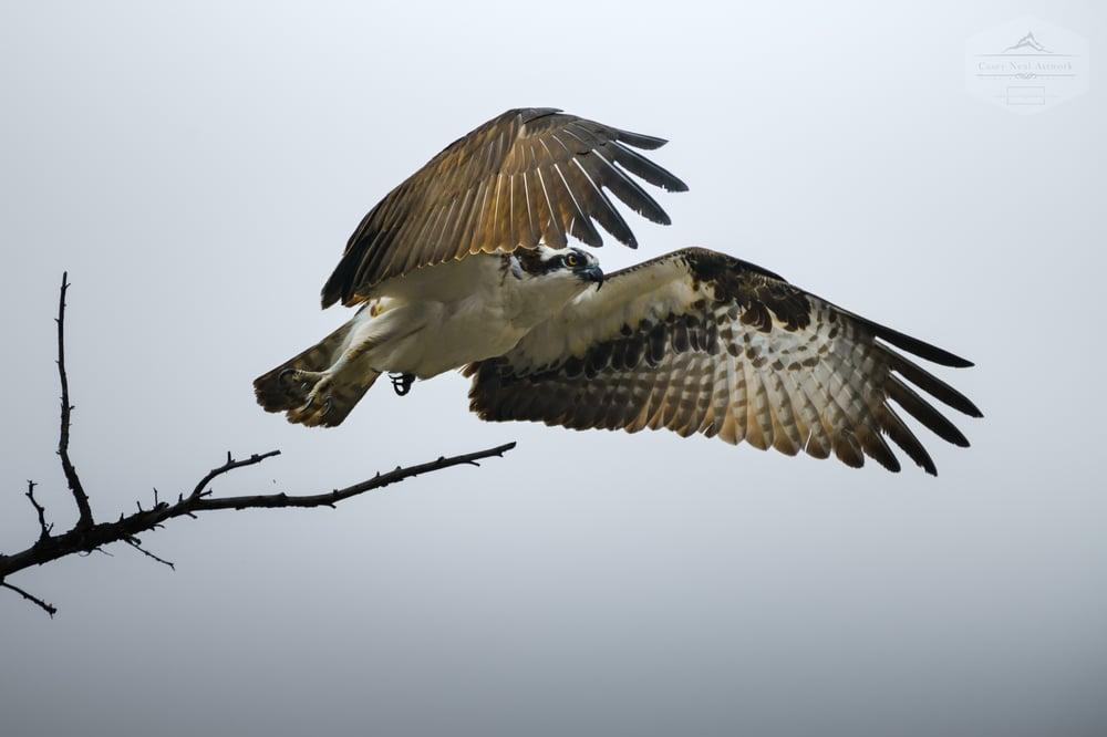 Image of Osprey Takeoff