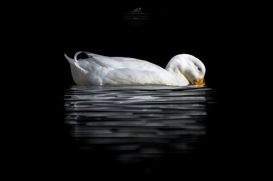 Image of Duck In Darkness