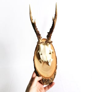 Image of Vintage Woodslice Mounted Roe Deer Antlers III