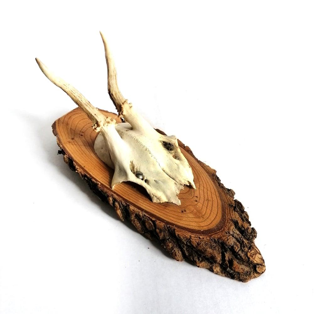 Image of Vintage Woodslice Mounted Roe Deer Antlers V
