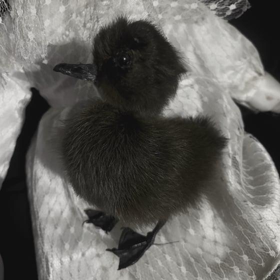 Image of Black Duckling