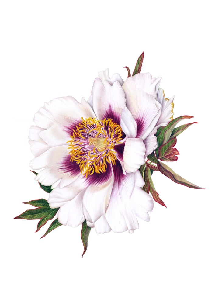 """Rock's Peony"". Fine art print of a white peony watercolor painting."