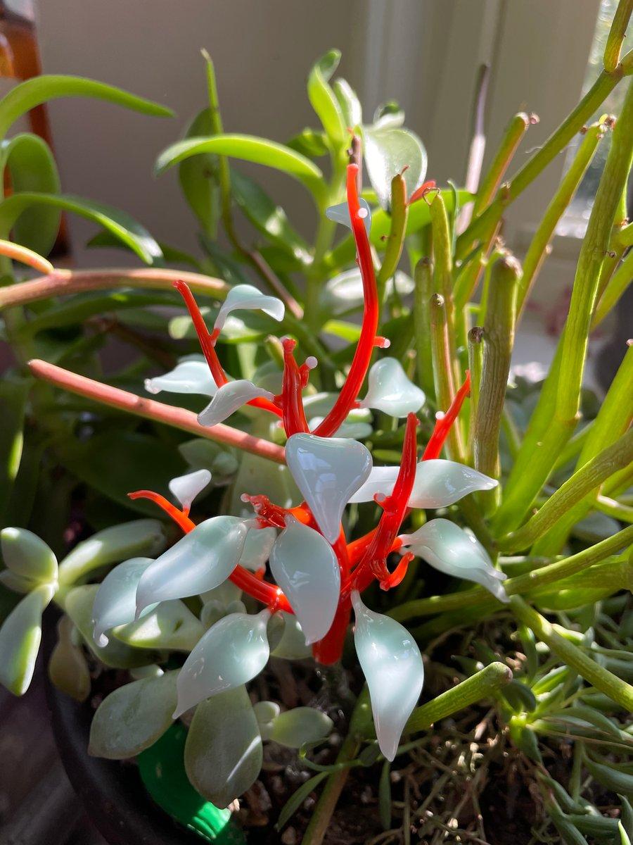 Image of  Caeruleum Folium Plant Bud