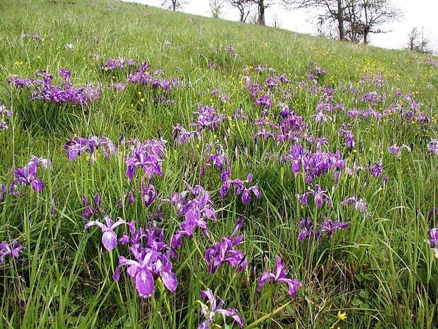 Oregon Iris : Iris tenax