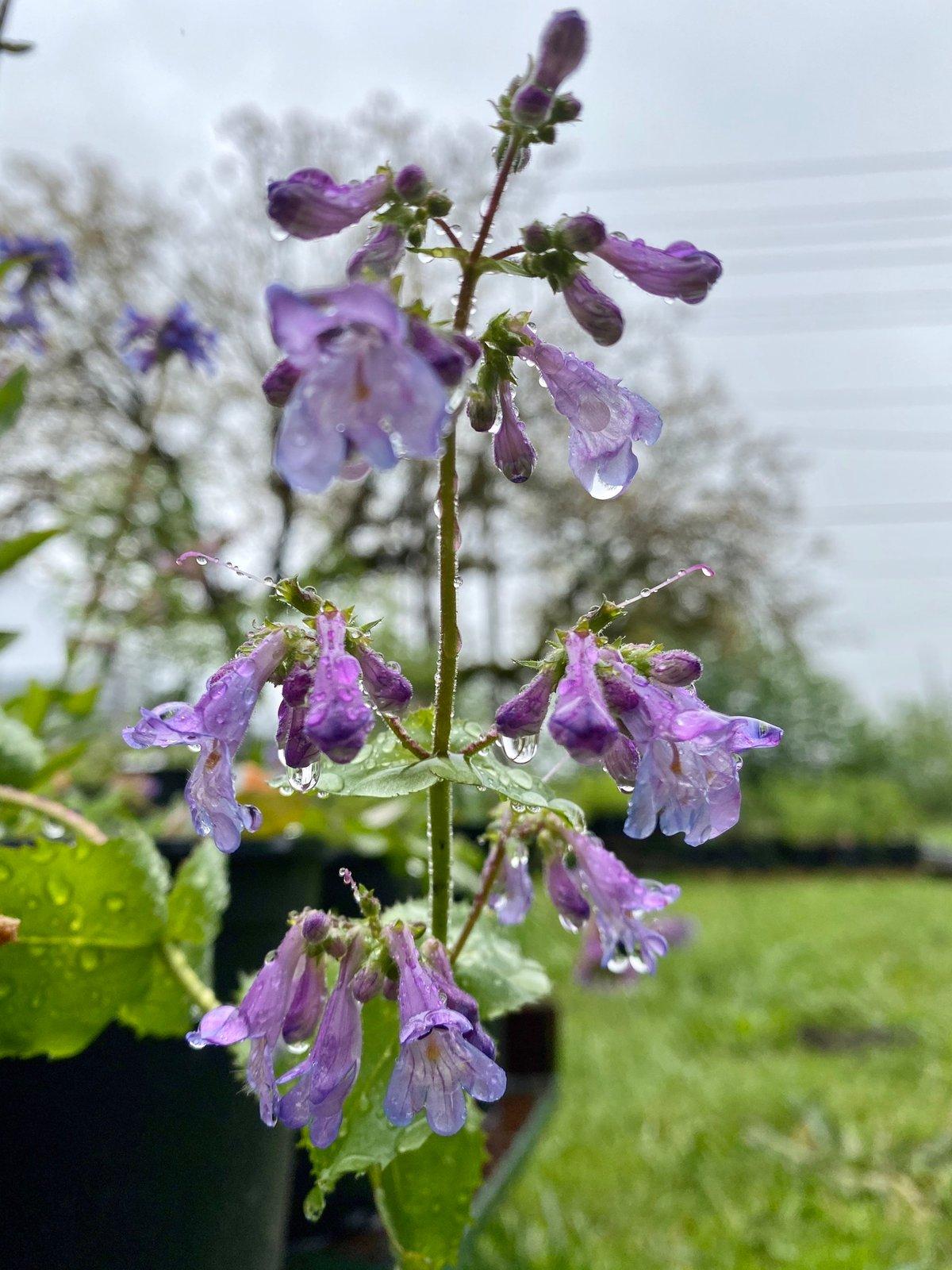 Littleflower Penstemon : Penstemon procerus