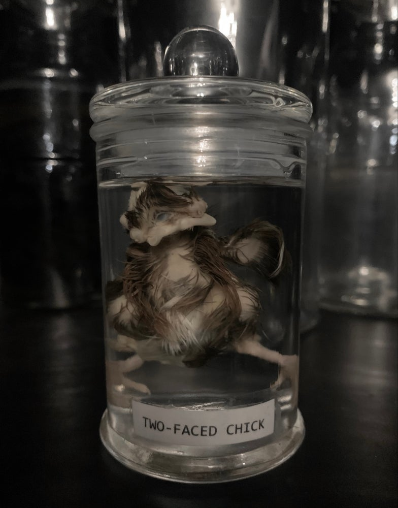 Image of Two Faced Chick