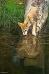 Tundra Wolf Pup Reflected