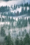 Ponderosa Pines in the Morning Mist