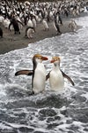 Royal Penguins in the Surf
