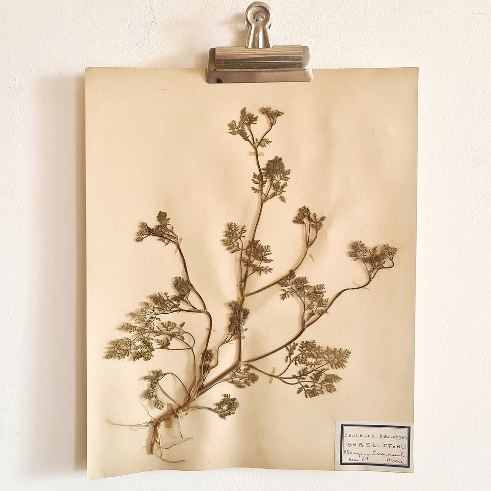 Ancienne planche d'herbier 1957 ombelliferes