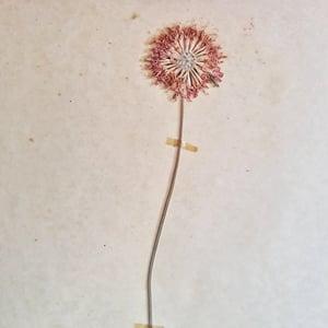 Ancienne planche d'herbier 1956 Dipsacees 2