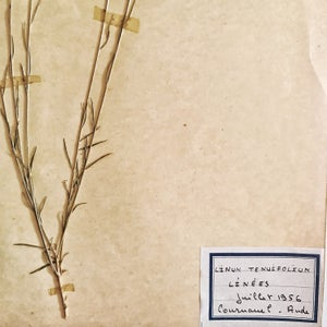 Ancienne planche d'herbier 1956 Linees