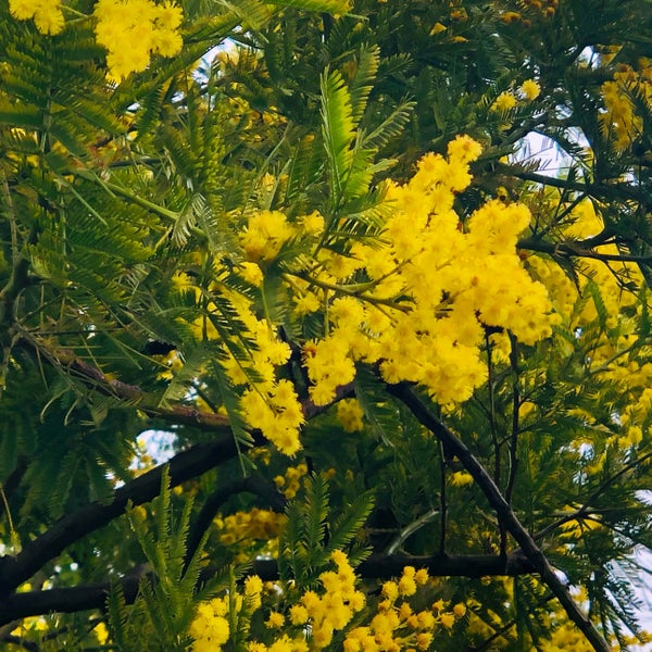 Image of The Mimosa Tree