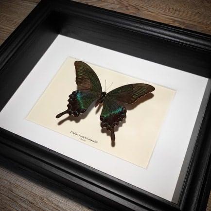 Image of Papilio maackii maackii