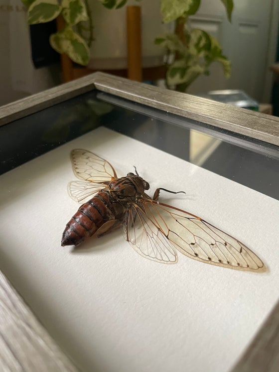 Image of Large Cicada