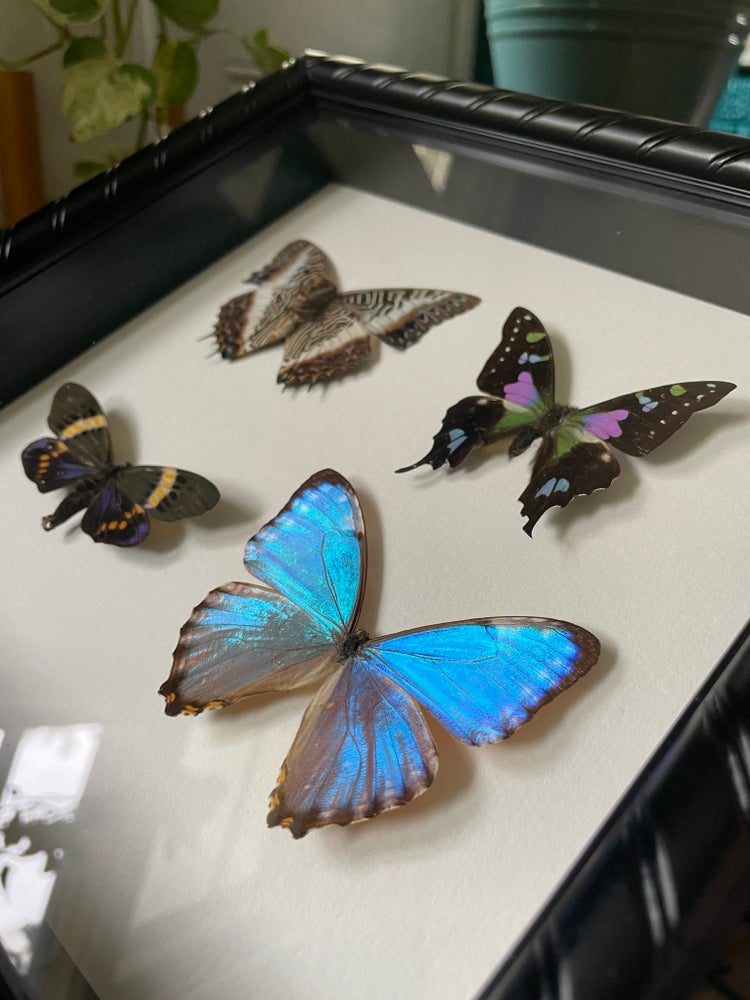 Image of Assorted Papillio Collection