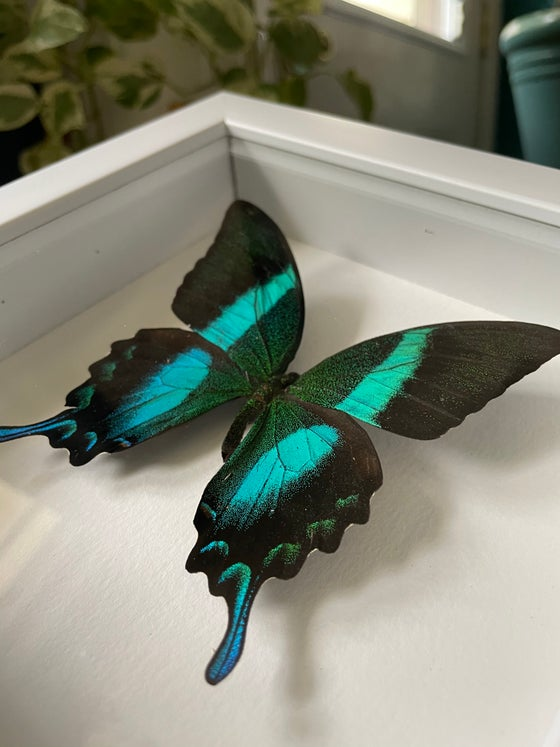 Image of Black and Green Swallowtail