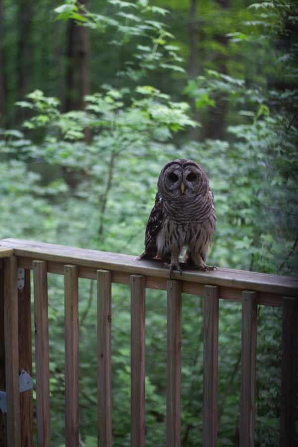 Image of Porch Owl - Limited Edition