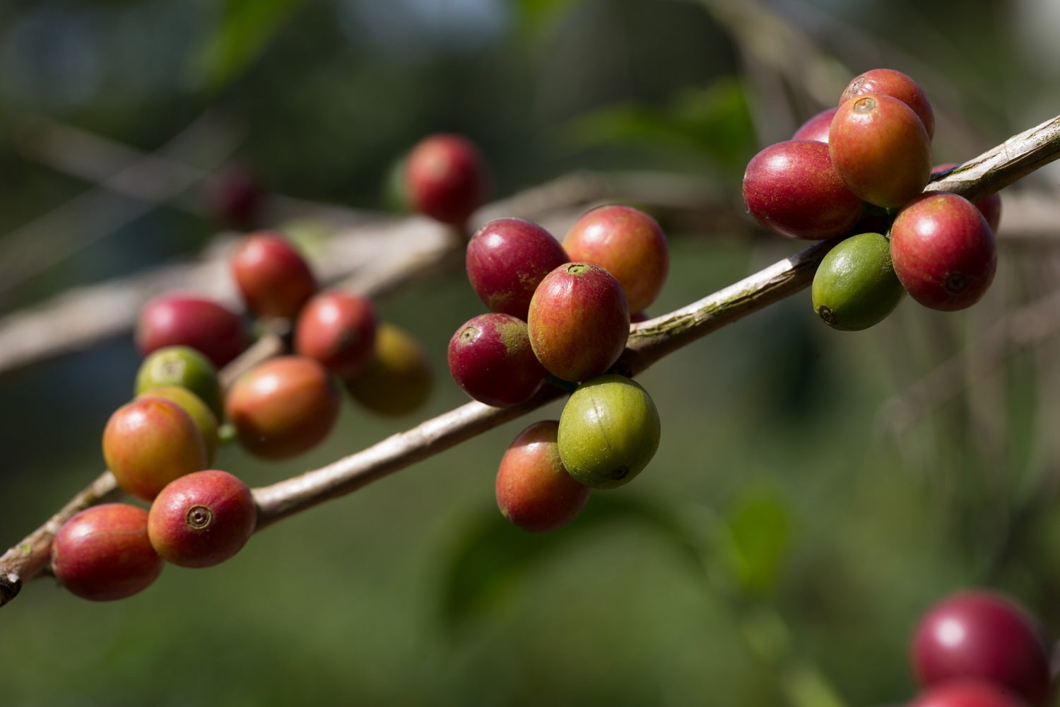 Image of Colombia, Pink Bourbon, Washed, 250g