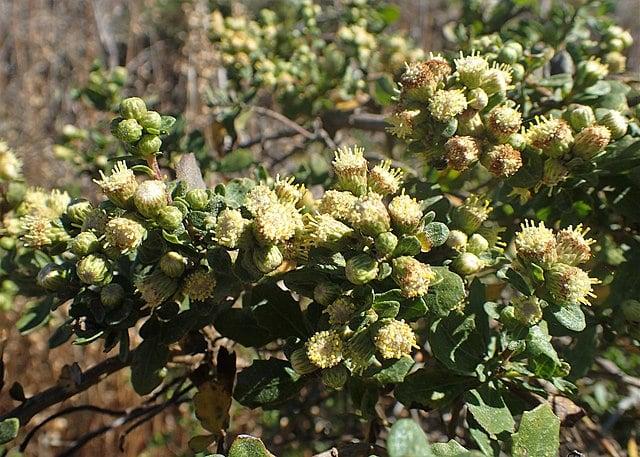 Coyote Bush : Baccharis pilularis
