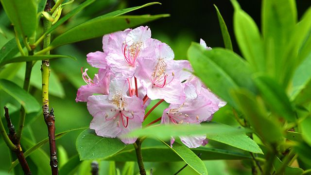 Pacific rhododendron : Rhododendron macrophyllum