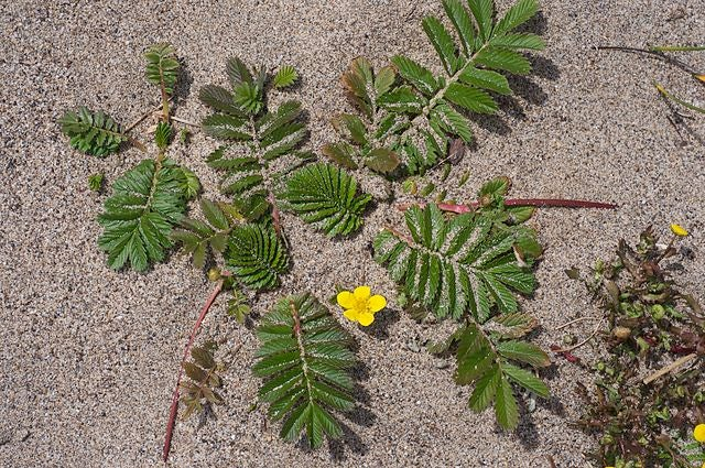 Pacific Silverweed : Argentina pacifica
