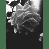 Rose Raindrops Lustre Print