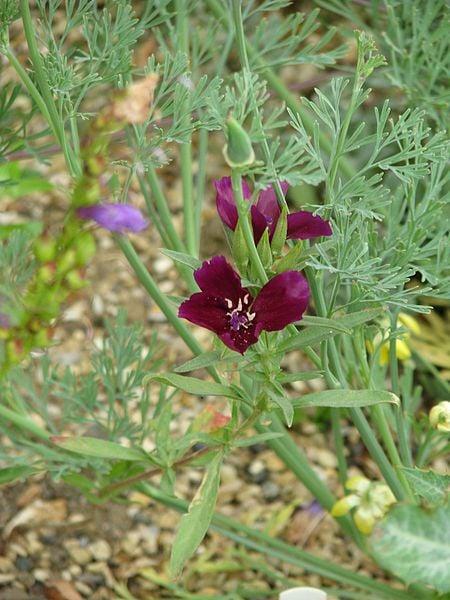 Winecup Clarkia : Clarkia purpurea