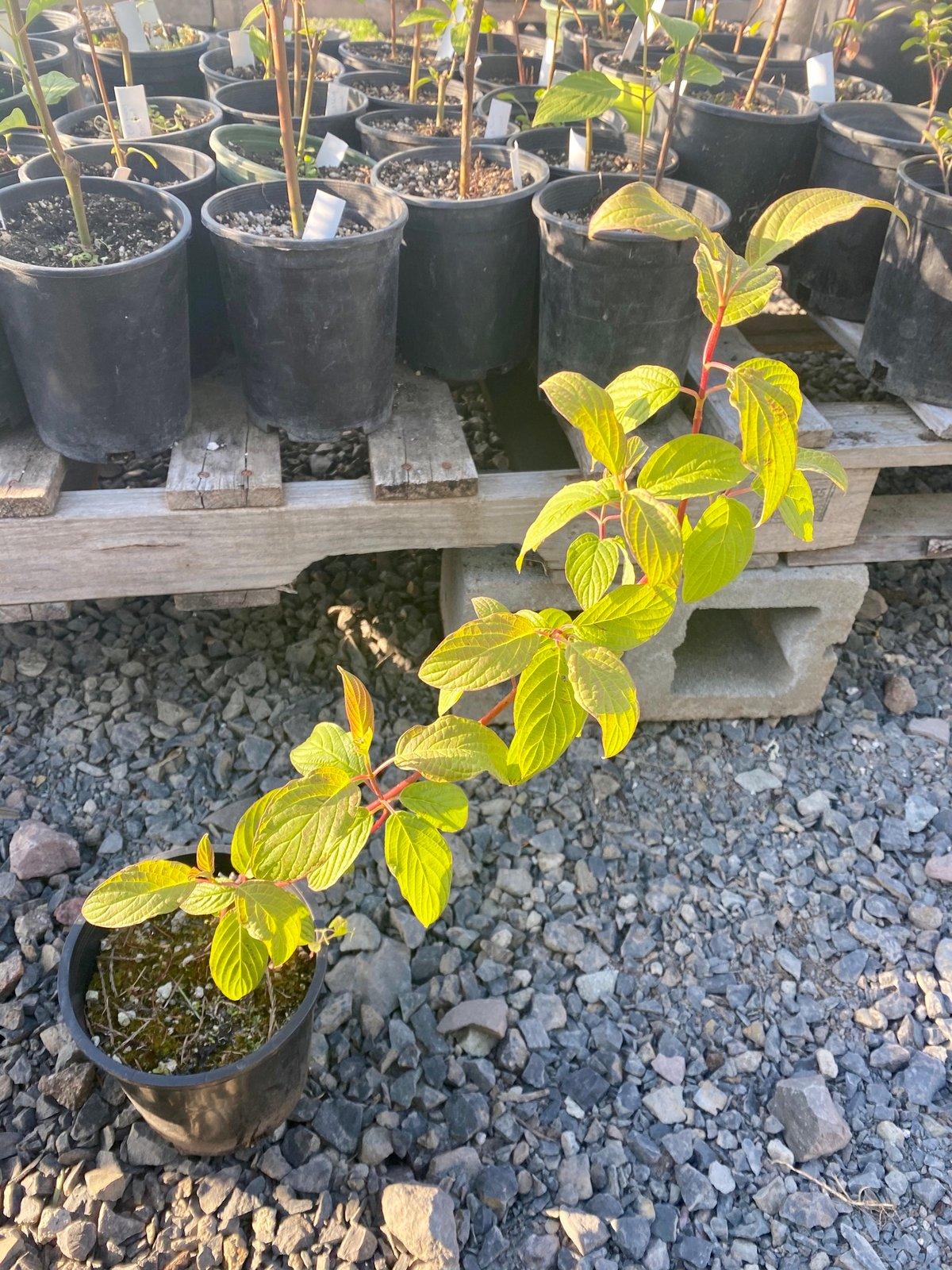 Red Twig Dogwood : Cornus sericea