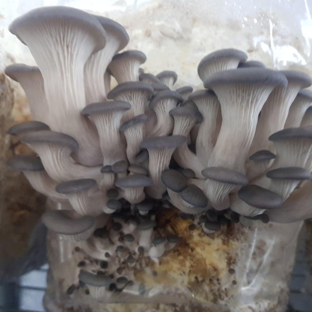 Image of   Grey Oyster Mushroom grow at-home kit