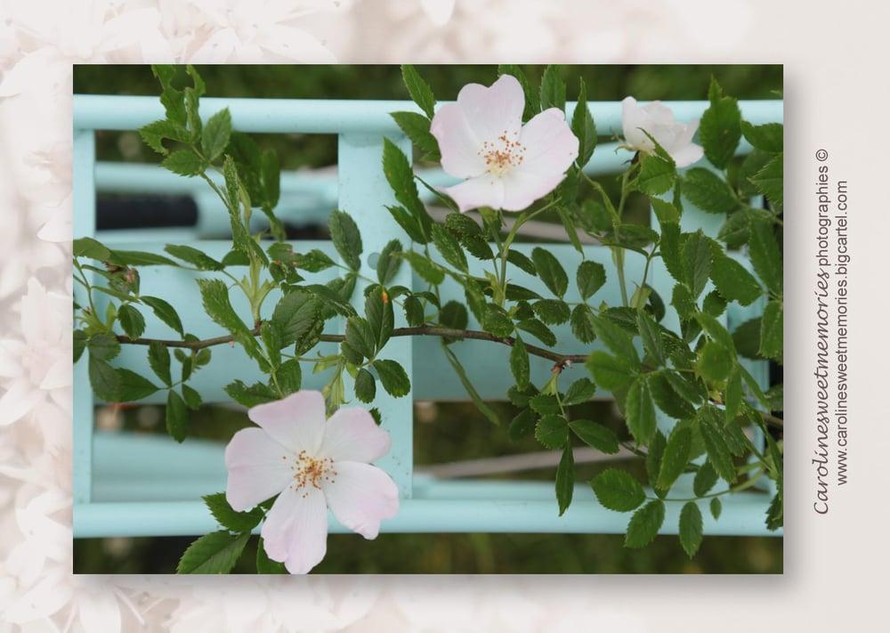 Image of Les roses sauvages sur le vélo | carte postale