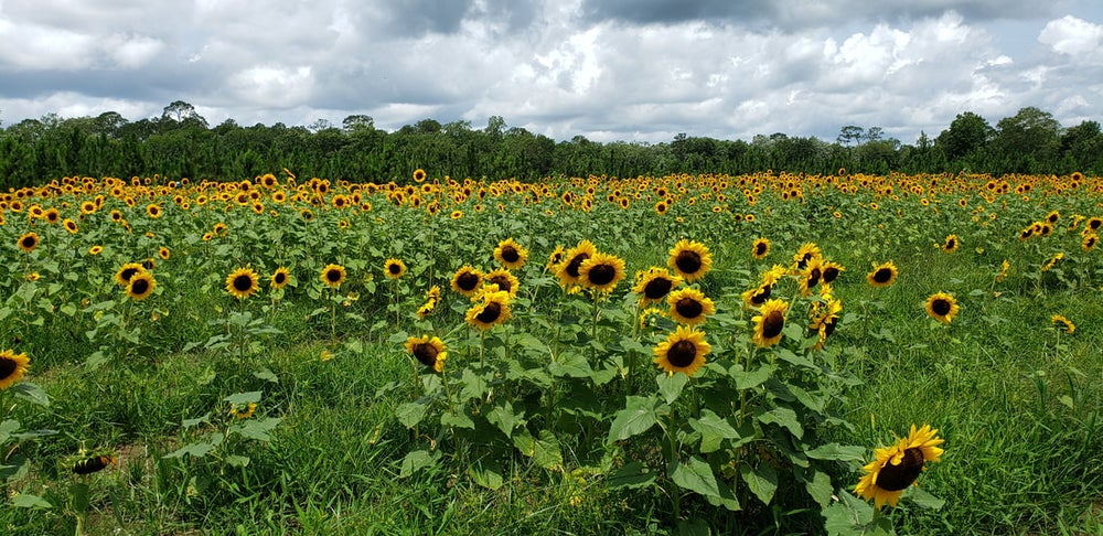Image of Sunflower Sessions